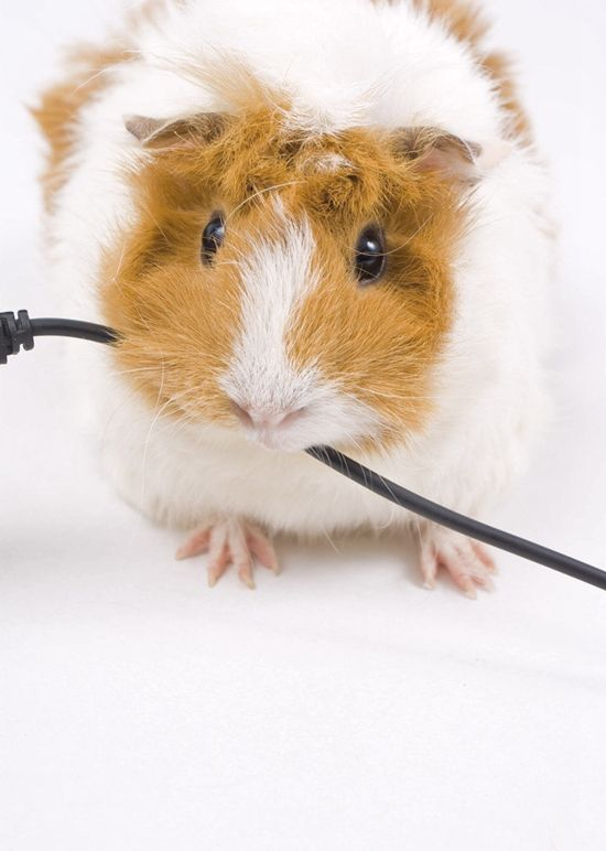 Cute hamster chewing on a wire. All hamsters are cute, me thinks ...