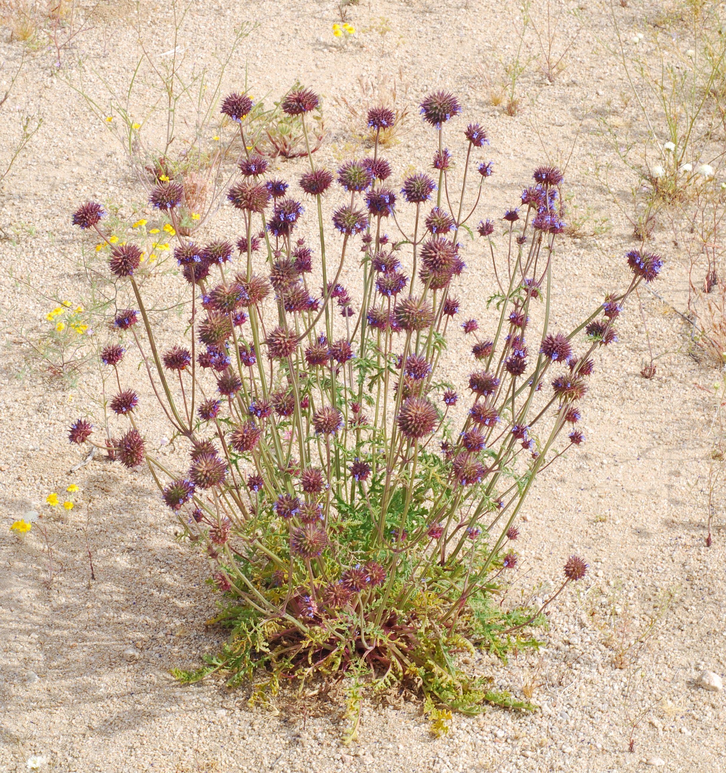 Salvia columbariae chia native annual spring flowering season native annual spring flowering season grows 0 3500 izmirmasajfo