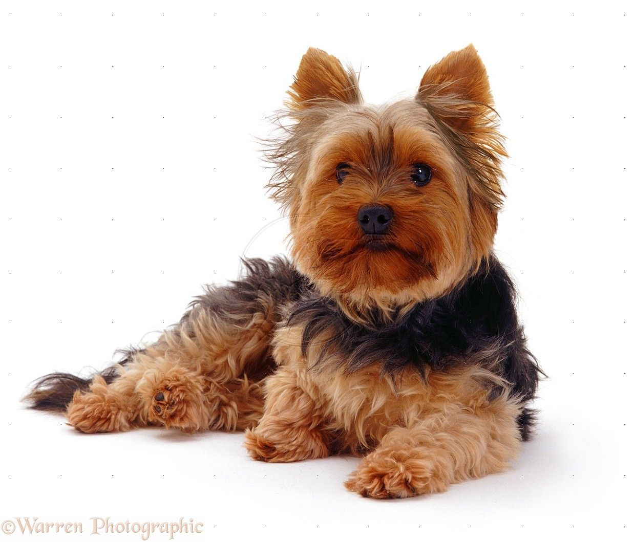Pin By Sheila On Animals Furry Friends Yorkshire Terrier Dog