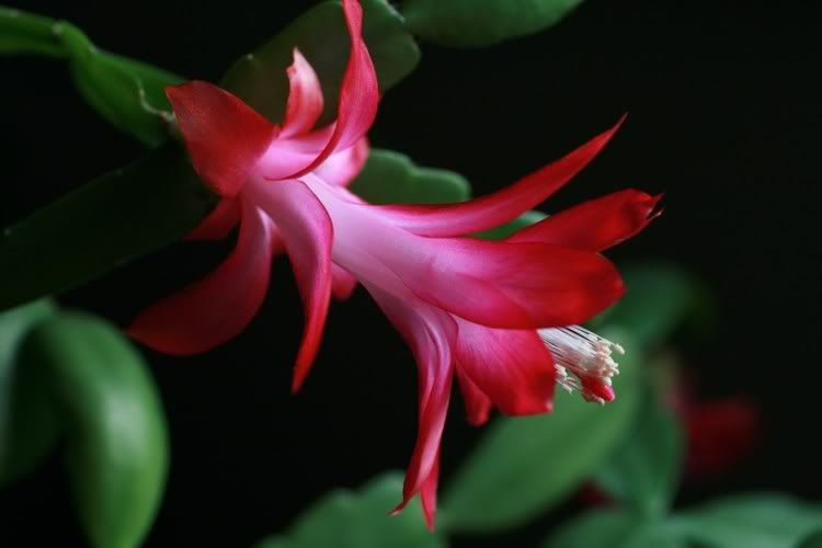 Christmas Cactus Blooms  Gardens Pinterest Christmas cactus