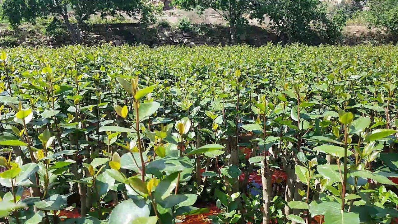 هل يتسبب القات بكارثة اقتصادية أم له فوائد Plants Farmland Outdoor
