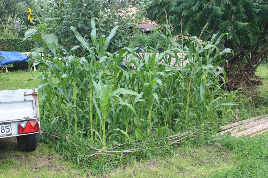 Das Indianerbeet Einfuhrung Das Indianerbeet Auch Genannt Aztekenbeet Milpa Oder Die Drei Schwestern Beet Ist Ei Mais Pflanzen Garten Pflanzen Pflanzen