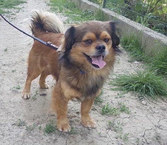 Tibetan Spaniel Dogs, Tibetan spaniel, Spaniel