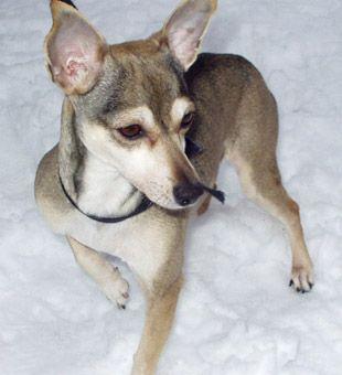 Miniature pinscher greyhound mix