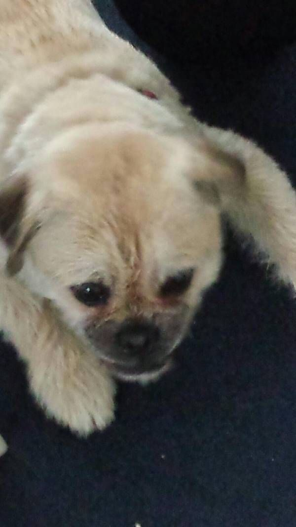 Found Dog Pug In Patchogue Ny Sharefacebooktwittergoogle Email Pet Name Unknown Id 123322 Gender Male Breed Pug Breed 2 T Dogs Pug Breed Pugs