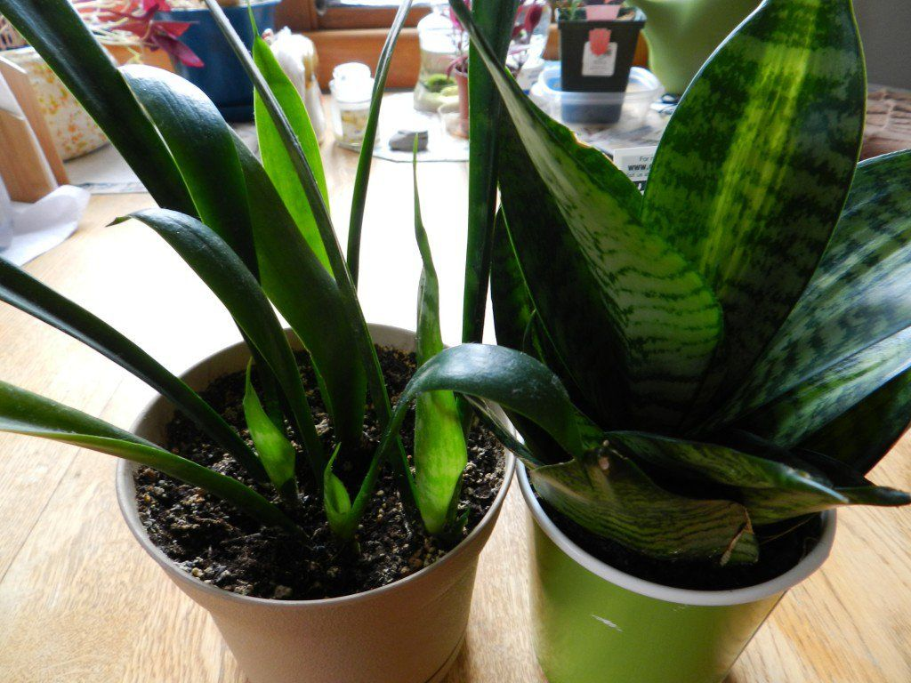 The snake plant, Sansevieria trifasciata, is a very common and easy to grow house plant. Growing snake plant is very easy due to its ability to tolerate low light environments and irregular watering. One of the major benefits of the snake plant is in its ability to purify air, which makes it great for rooms that receive very little fresh air.