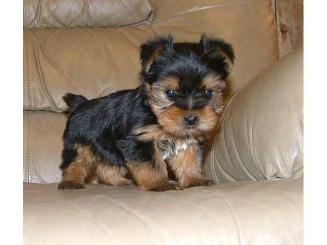 Biewer Yorkie I Want Him Biewer Yorkie Yorkie Terrier Yorkshire Terrier Puppies