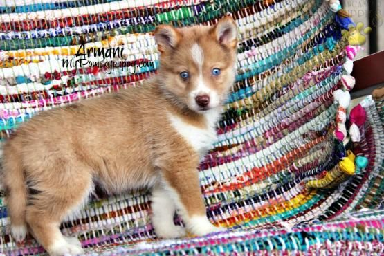 Armani Pomsky Puppy For Sale In Bowling Green Ky Lancaster