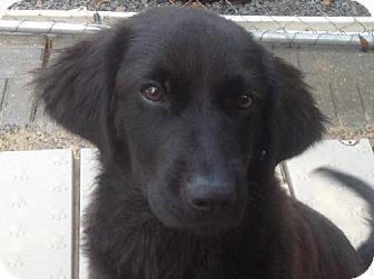 Locust Fork Al Golden Retriever Labrador Retriever Mix Meet Bella A Dog For Adopt Old Golden Retriever Golden Retriever Black Lab Mix Dogs Golden Retriever