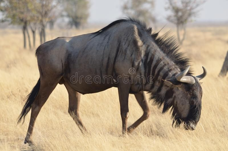 Blue wildebeest. Grazing in namibia , #AFF, #wildebeest, #Blue, #namibia, #Grazing #ad
