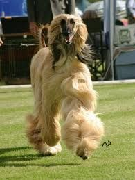 Afghan Hound Unbelievably Even Some Gorgeous Dogs Like This Are