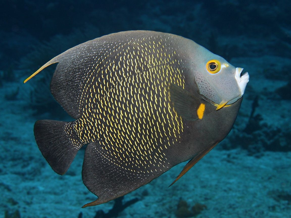 18 different types of angelfish to consider for your for Freshwater angel fish
