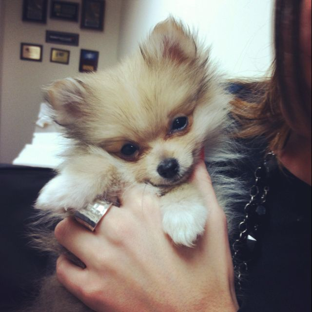 Pin By Cherry On Whole Lotta Love Pomeranian Puppy Pomeranian Puppy Teacup Dogs And Puppies