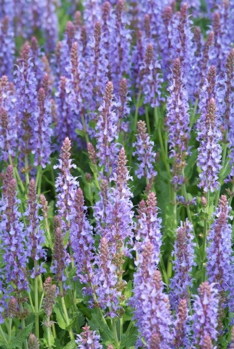 salvia nemorosa 39 blauhugel 39 salie bossalie mei juli 60 80 cm tuin voortuin pinterest. Black Bedroom Furniture Sets. Home Design Ideas