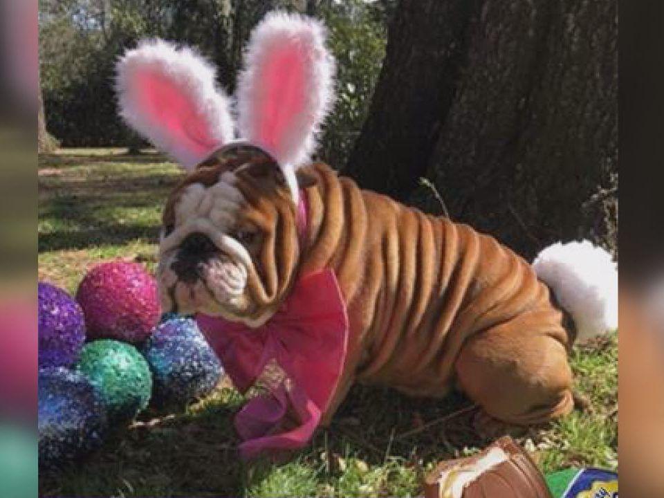 Wilmington Bulldog To Be Featured In Iconic Cadbury Bunny