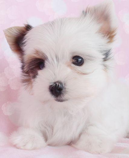 Biewer Yorkie Terrier At Teacups Biewer Yorkie Puppies And Kitties