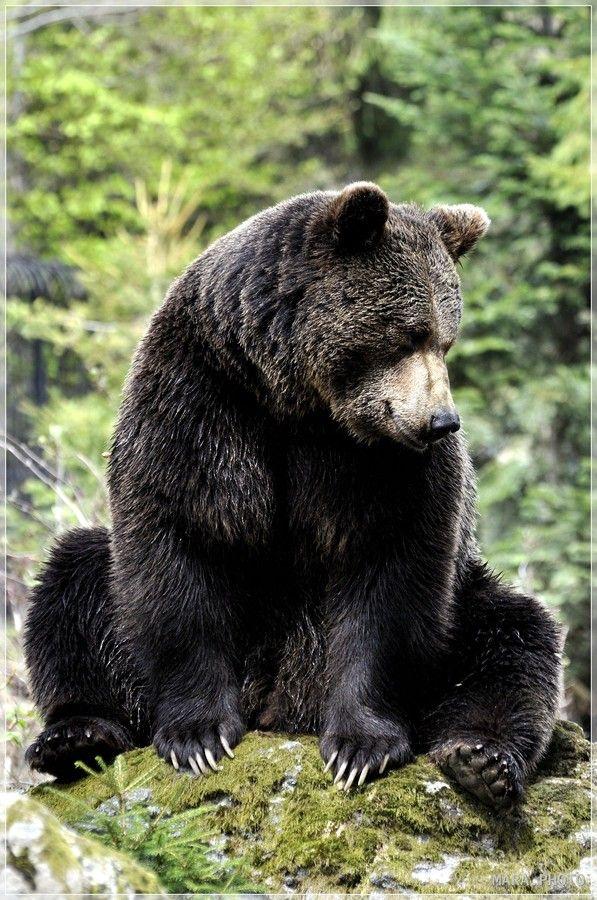 Brawn Bear 31 By Mara Sironi 500px Black Bear Animals Beautiful Animals Wild