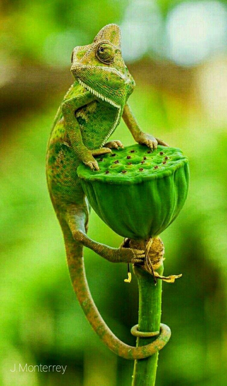 Green Chameleon Animals beautiful, Veiled chameleon