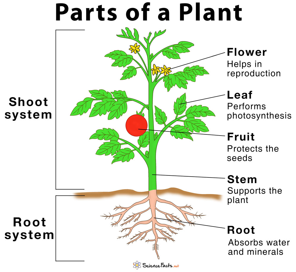 Main Parts Of A Plant Their Functions Structure Diagram In 2020 Parts Of A Plant Plant Roots Planting Flowers
