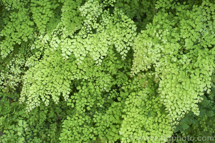 Adiantum aethiopicum in 2020 plant images unique plants