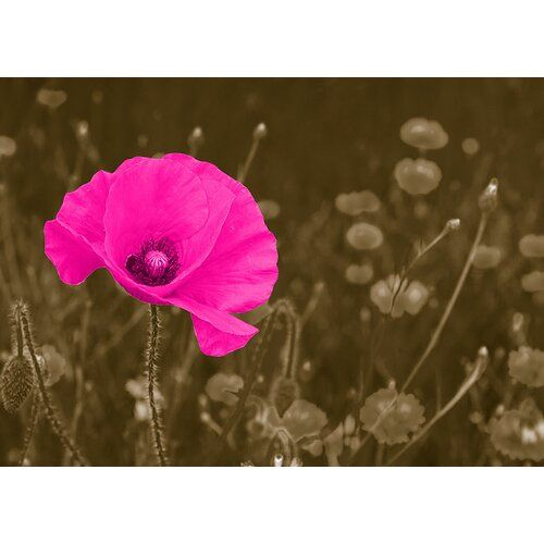 Poppy, photo print East Urban Home wall color: silver, size: 30 cm H x 90 cm W x 0.5 cm D, color: yellow