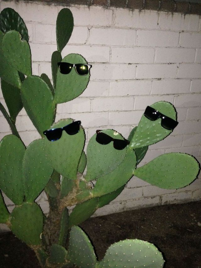 Photo of Sunglasses cactus