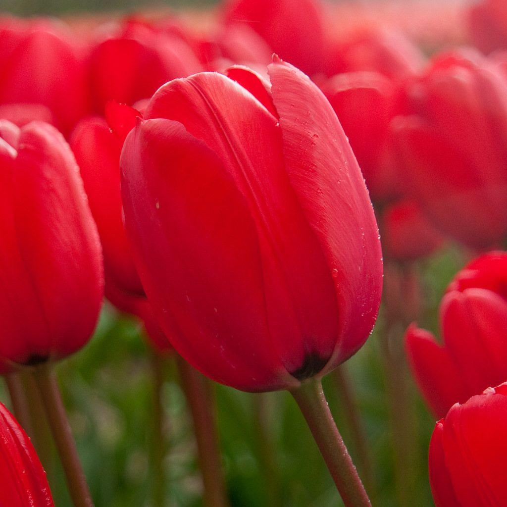 Singles Dutch Flower Bulbs at wholesale prices Bulb