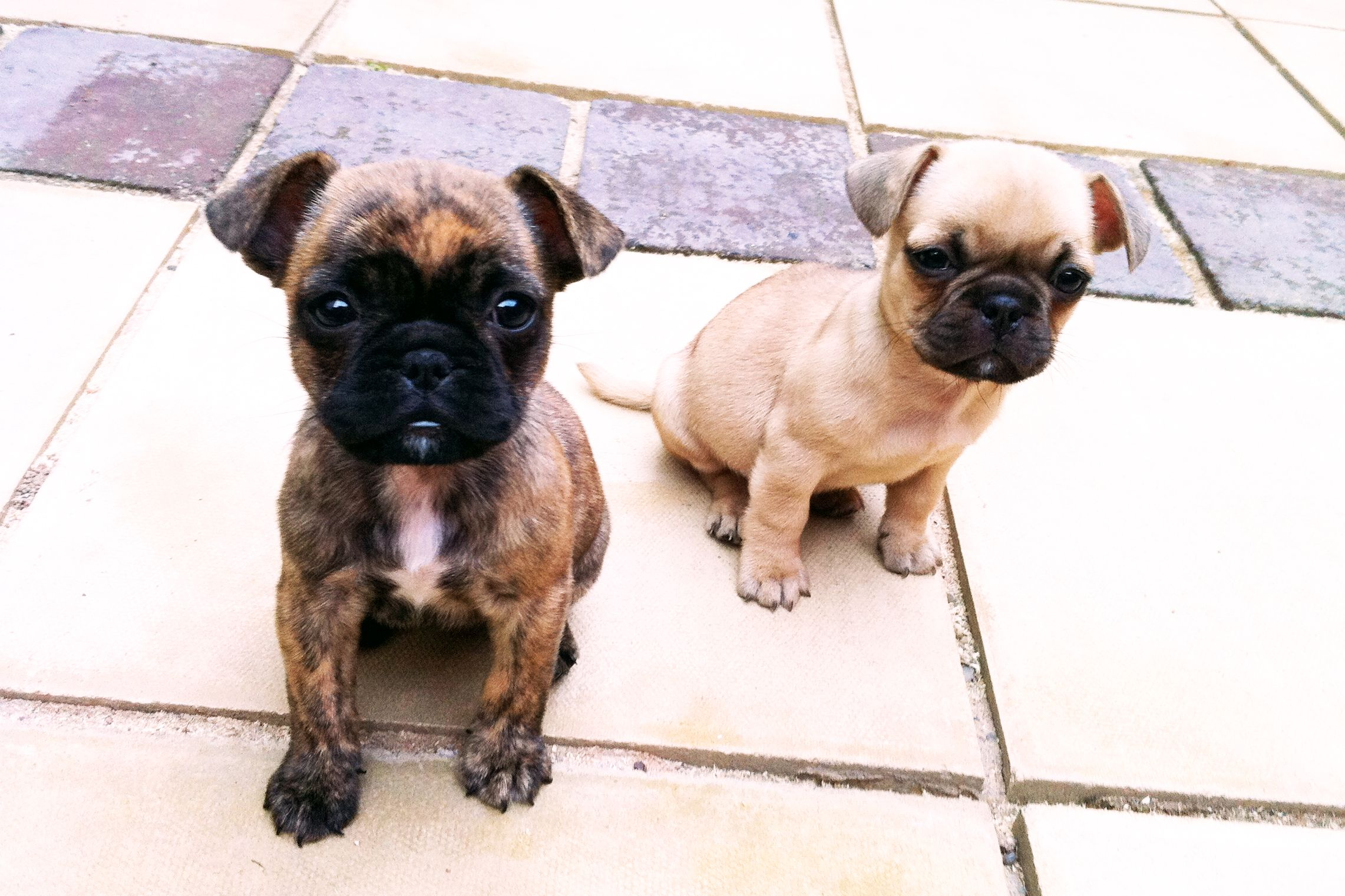 Beryl Iris The Frugs French Bulldog X Pug Cute Animals Animals Friends Bulldog Puppies