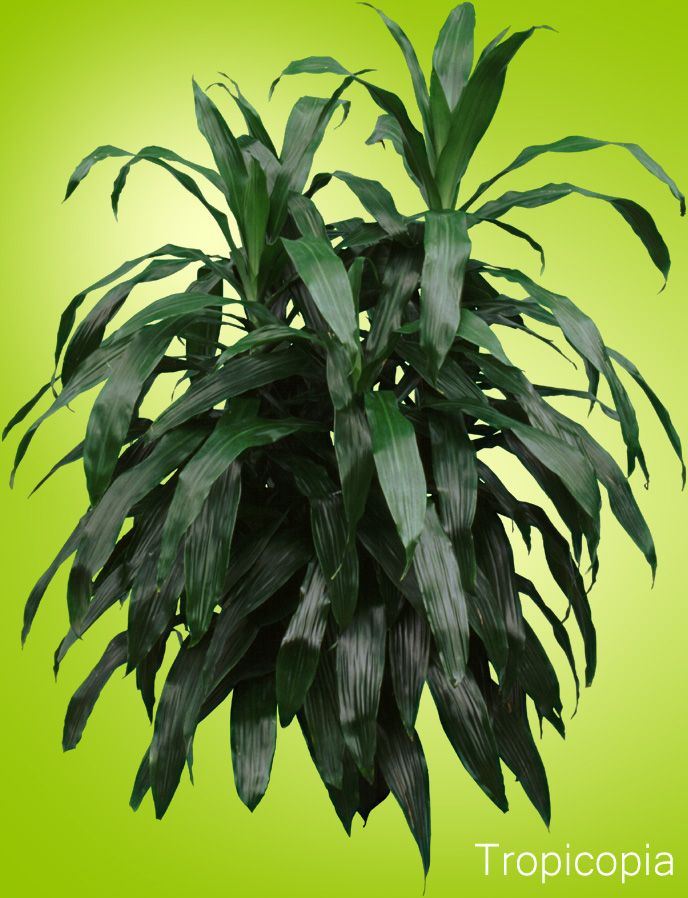 Dracaena Janet Craig - HousePlant Care Tips| HousePlant411.com ... on house people, house candy, house decorations, house ferns, house cars, house chemicals, house plans, house gifts, house vines, house family, house slugs, house design, house flowers, house rodents, house fire, house crafts, house home, house nature, house stars, house mites,