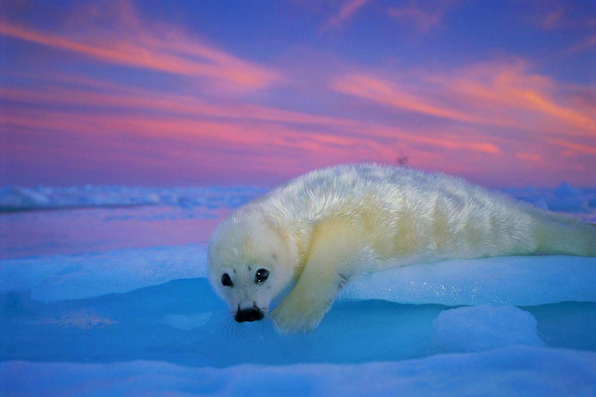 Would Love To Have A Print Of This Harp Seals Brian Skerry Photography Harp Seal Pup Seal Pup Cute Wild Animals