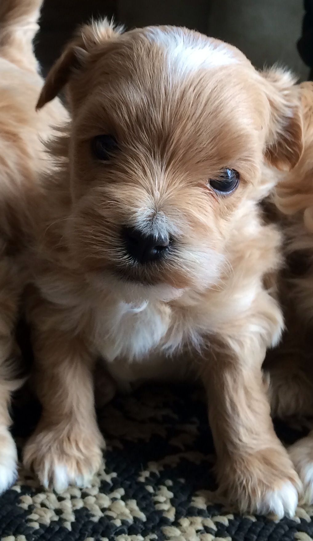 Pin By Julie Fisher On Maltipoo Puppies Maltipoo Puppy Poodle Mix Puppies