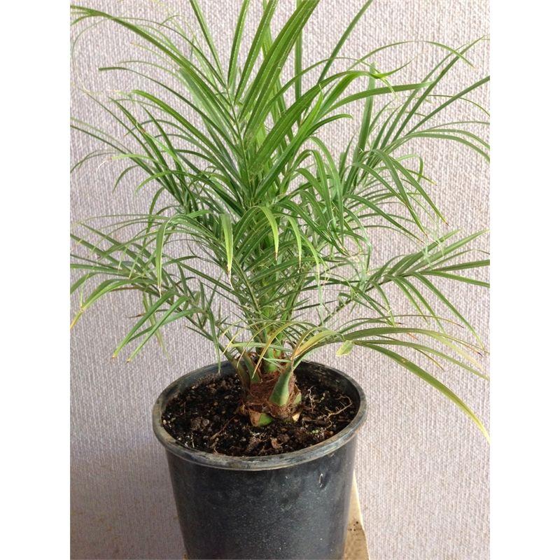 Plant Pygmy Date Palm 200mm Phoenix Roebelinii I N 3530447 Bunnings Warehouse Garden Design Plants Date Palm