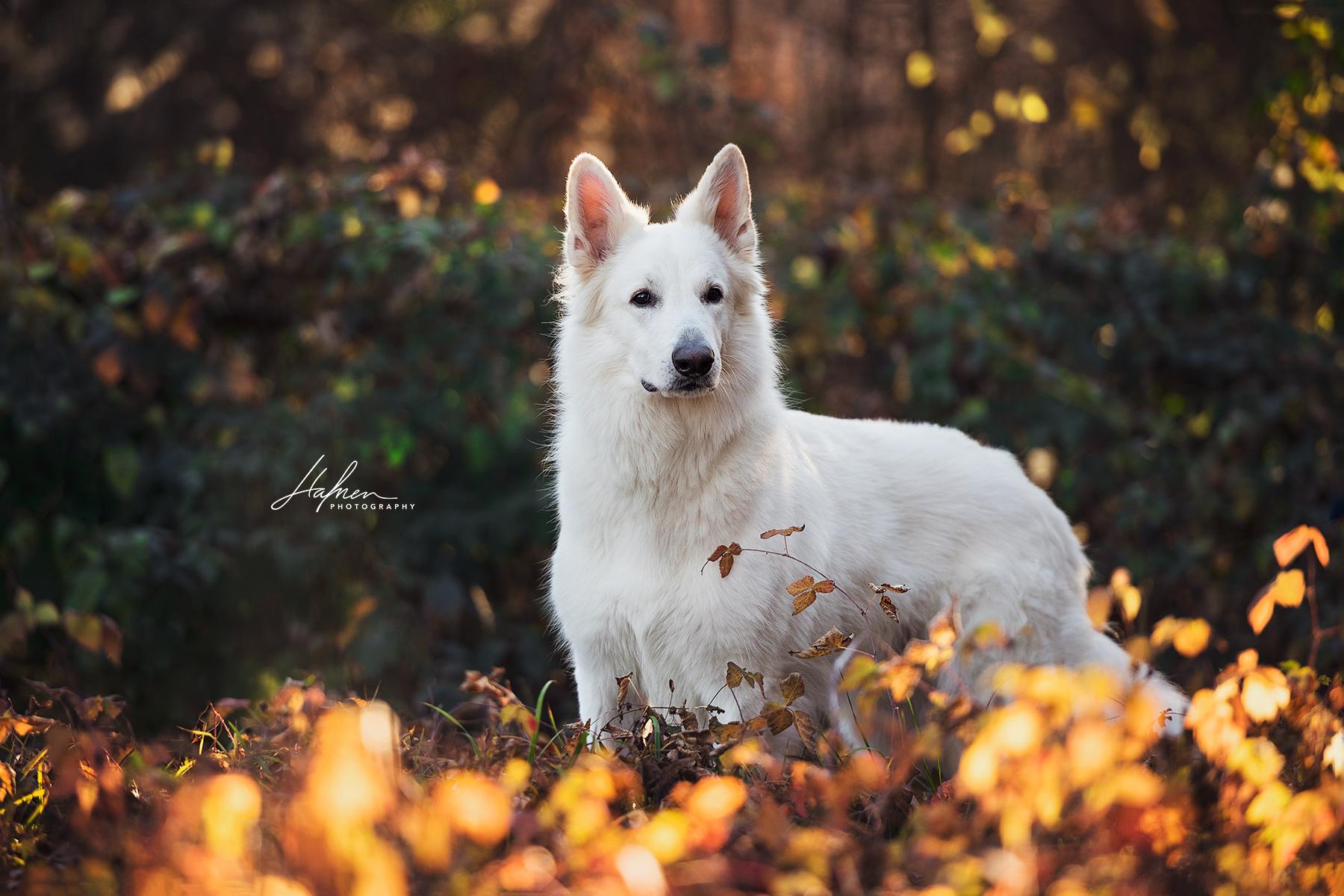 Weisser schweizer Schäferhund steht im Sonnenaufgang im