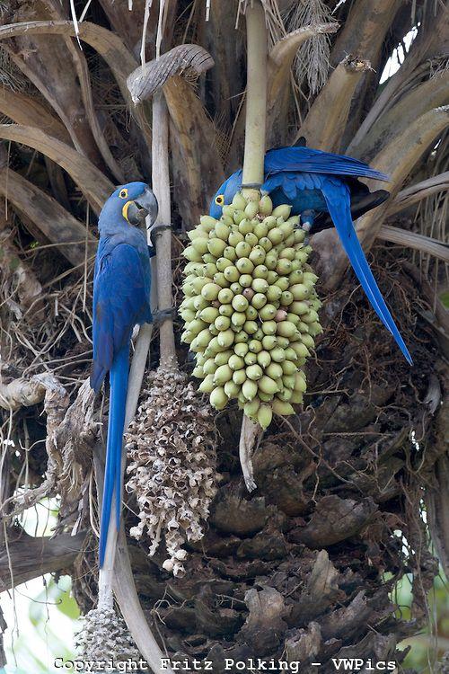 Blue macaws - Pantanal, the world largest wetland, Brazil, South America