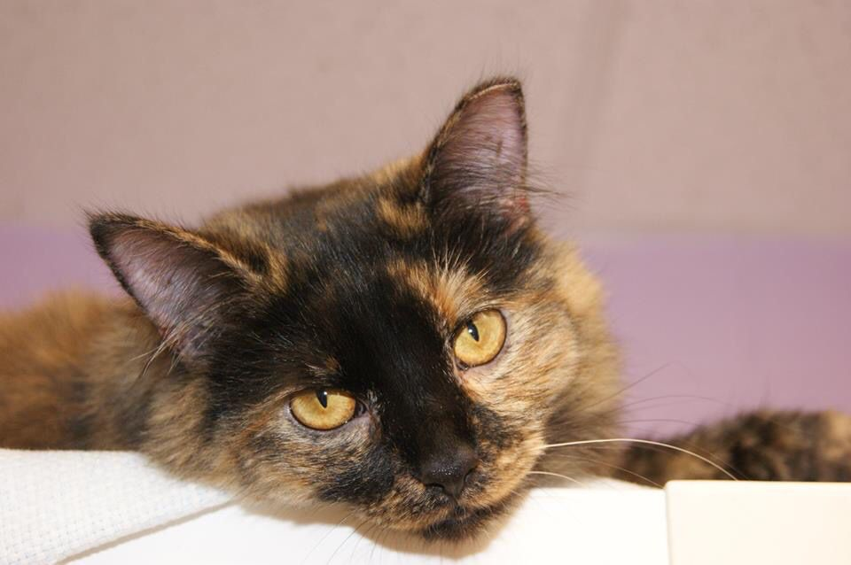 Adopt Poy On Cat Adoption Cat Rescue Cats