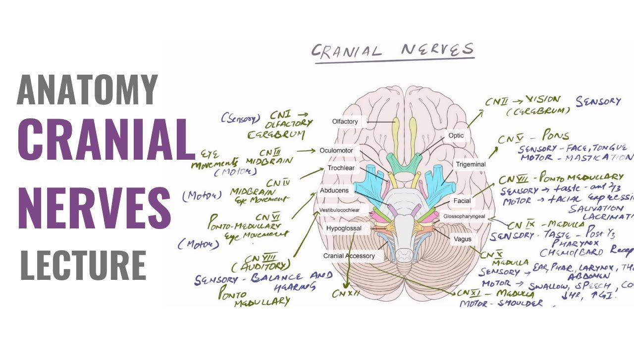 Cranial Nerves - Easy way to learn and memorize all the 12 ...