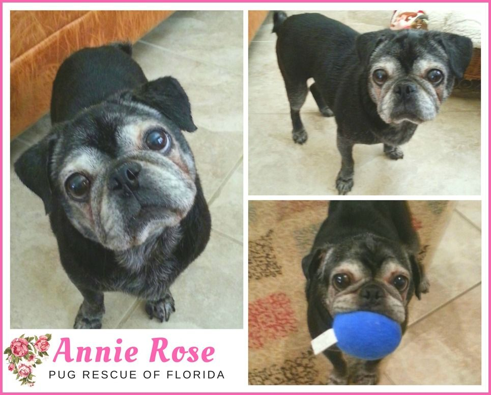 Pin By Pug Rescue Of Florida On Adopt Me Annie Rose Pug Rescue