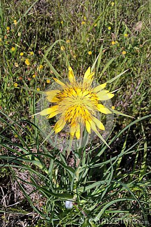 Also Known As Yellow Goatsbeard Scientific Name Tragopogon Dubius Of The Aster Family The Flowers Are About One In With Images Types Of Soil Wild Flowers Family Flowers