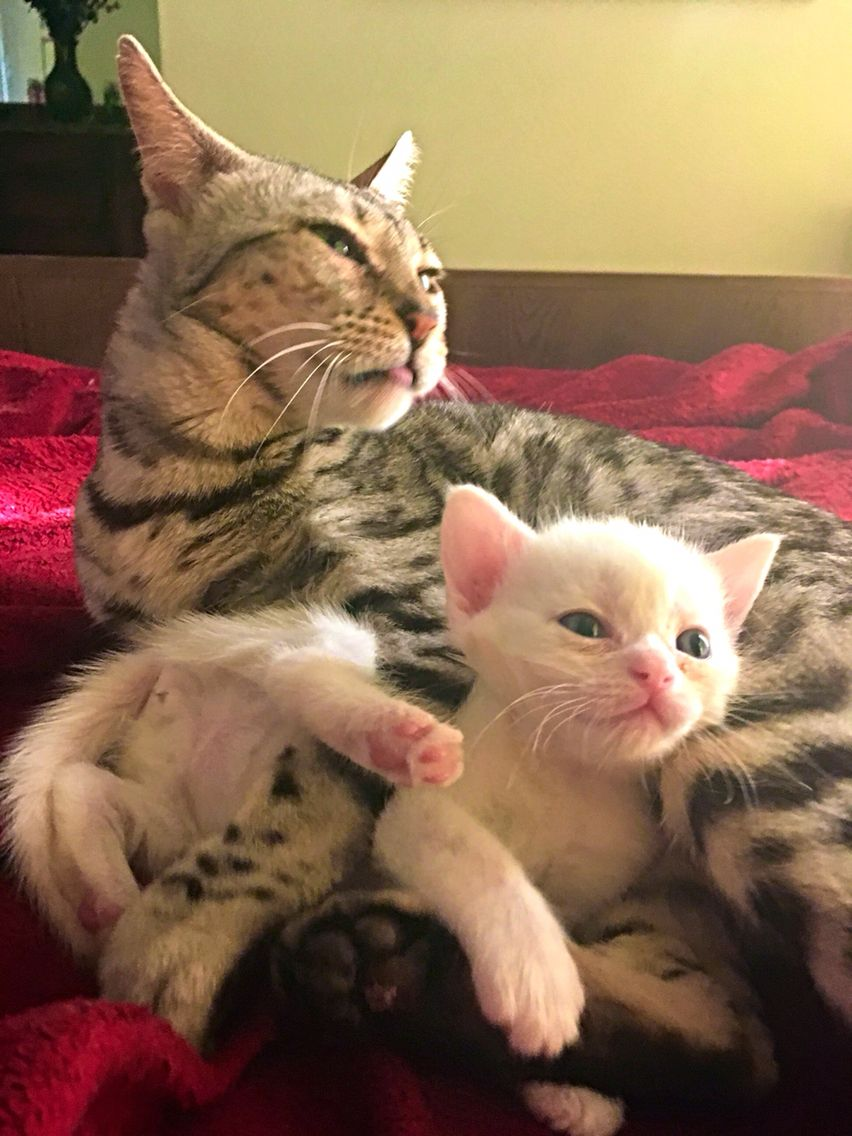 Mama. England adopts baby Scottish fold at exotic folds . Bath time ...