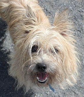 10 8 17 Cairn Terrier Westie West Highland White Terrier Mix Dog