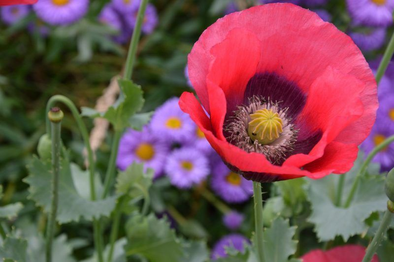 5 Best Poppy Flower Types For Arrangement In Your Garden Flower