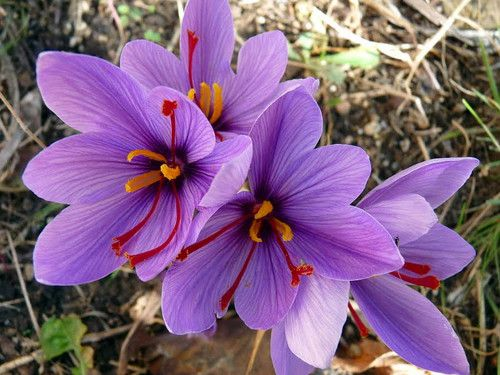 Crocus plants are relatively small, reaching just 3-6 inches in height (depending on the variety). The leaves are grass-like, generally with a light stripe running up the middle. The blooms pucker up