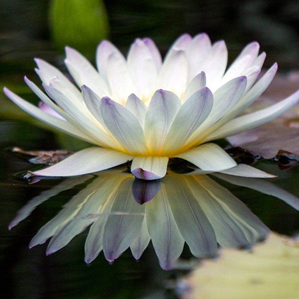 Water lily fine art print water lilies pinterest water lilies water lily fine art print izmirmasajfo