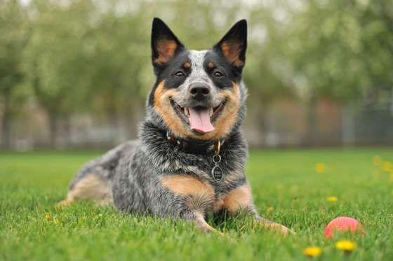 35 Best MediumSized Dogs Best medium sized dogs, Dog