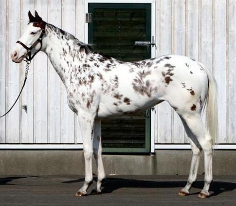 Buchiko(JPN) white Thoroughbred filly - King Kamehameha (JPN) x Shirayukihime (JPN)