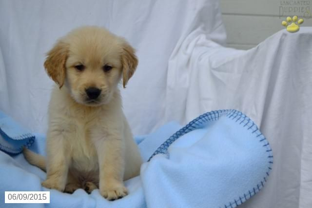Shelton Golden Retriever Puppy For Sale In Fredricksburg Oh