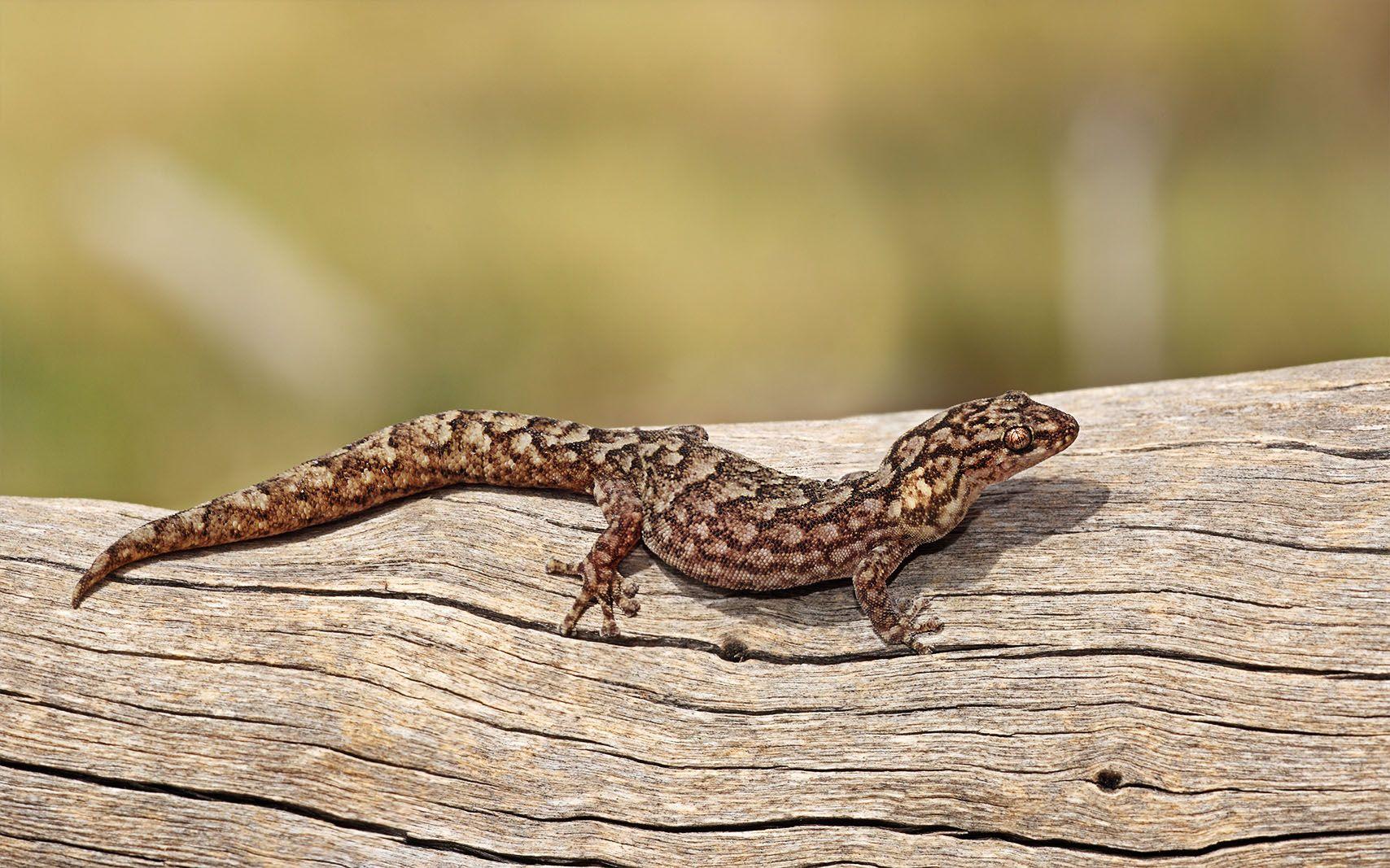 Marbled Gecko Jpg 1708 1067 Reptilien Terrarien Echse