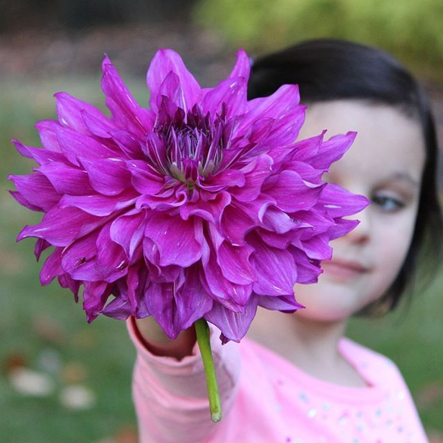 This Dinnerplate Dahlia Purple Taiheijo blooms until the first frost in the fall and has & This Dinnerplate Dahlia Purple Taiheijo blooms until the first ...