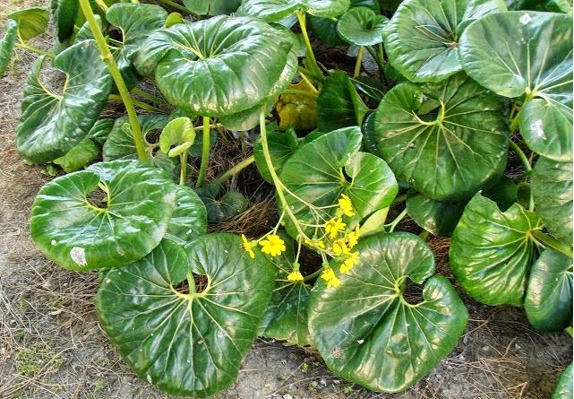La Boina de Vasco o Senecio Kaempferi es una planta perenne que forma parte  de la 7760093dfc0