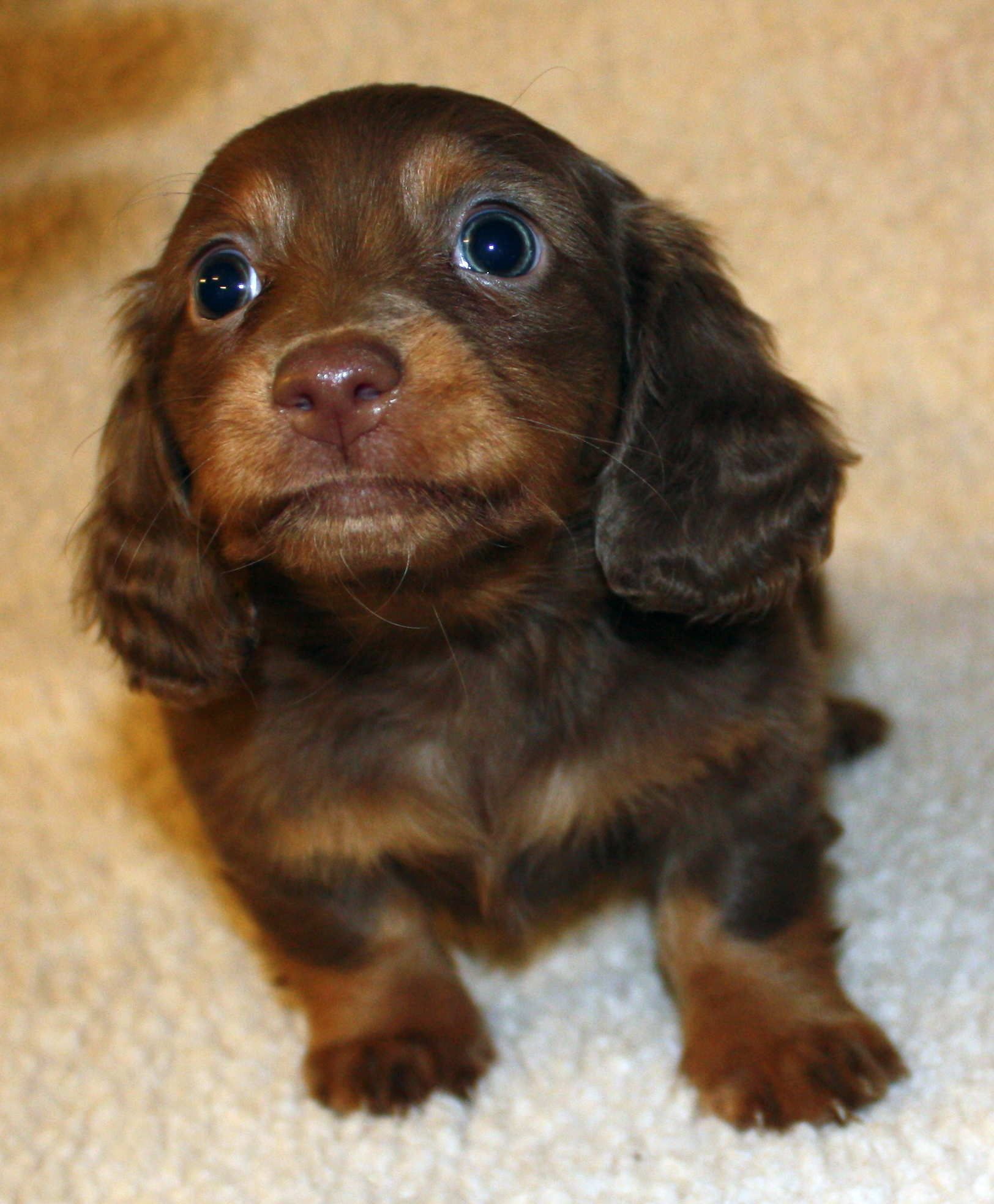 Dachshund Friendly And Curious Dachshund Puppy Miniature